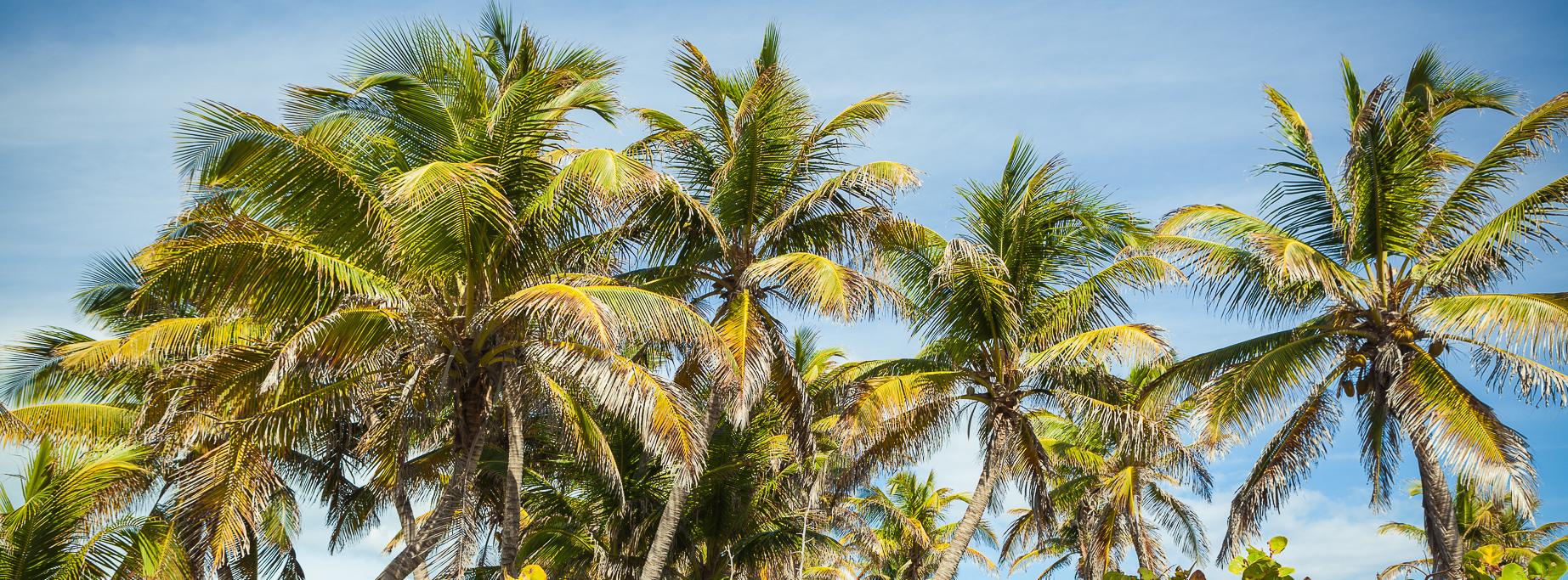 Karibik_3520_Palmen_01